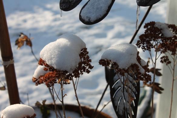 Snowy Seedum