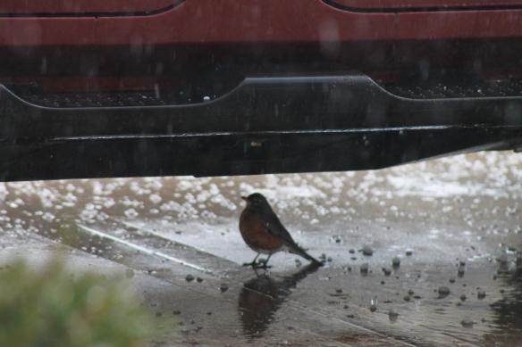 Hail Storm Bird 2 (3-27-14)